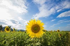美好向日葵的领域 库存照片