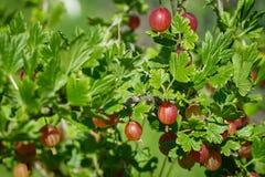 美好和新红色鹅莓分支在迷离bokeh背景的夏天 库存图片