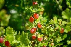 美好和新红色鹅莓分支在迷离bokeh背景的夏天 免版税库存图片