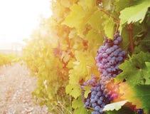 美好和鲜美蓝色葡萄束 免版税图库摄影