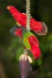 美好在香蕉的喋喋不休红色鹦鹉Lorius garrulus画象  免版税库存图片