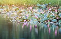 美好开花在水池,百合水开花,流程的桃红色莲花 图库摄影