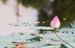 美好开花在水池,百合水开花,流程的桃红色莲花 免版税库存图片