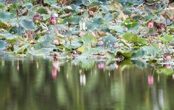 美好开花在水池,百合水开花,流程的桃红色莲花 免版税图库摄影