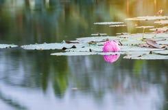 美好开花在水池,百合水开花,流程的桃红色莲花 库存图片