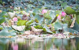 美好开花在水池,百合水开花,流程的桃红色莲花 库存照片