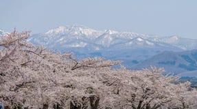 美好樱花充分开花与多雪的山在背景中 库存照片