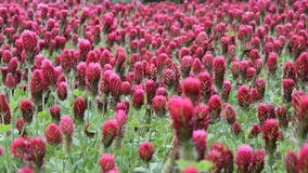 美好深红色三叶草领域移动 影视素材