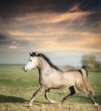 美好灰色公马马跑放纵在牧场地背景 库存图片
