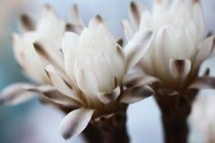 美好白色仙人掌花开花 免版税库存照片