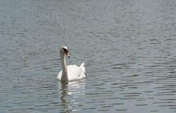 美好白色天鹅游泳愉快在湖 库存图片