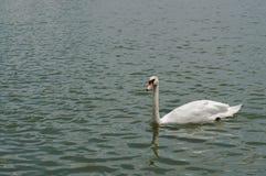 美好白色天鹅游泳愉快在湖 免版税库存照片