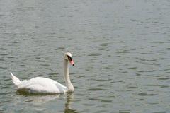 美好白色天鹅游泳愉快在湖 图库摄影