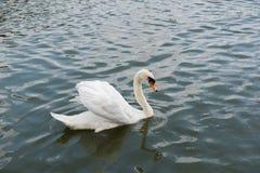 美好白色天鹅游泳愉快在湖 免版税库存图片