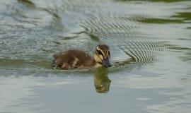 美好的一点野鸭鸭子游泳 免版税库存照片