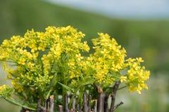 美好的一点黄色开花的花花束叫r 免版税库存照片