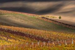 美好的与偏僻的树和意想不到的五颜六色的秋天葡萄园行的秋天农村风景 Czec秋天五颜六色的葡萄园  免版税库存照片