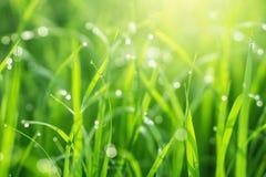 美好的与雨珠的自然绿草与早晨阳光 免版税库存图片