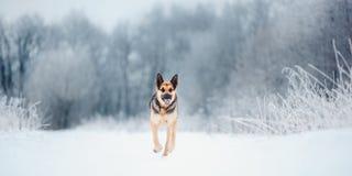 美好的东欧牧羊人奔跑在降雪的冬天 图库摄影