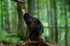 美好的乐趣和疯狂的平的上漆的猎犬尾随跑在夏天背景中的小狗 免版税库存照片
