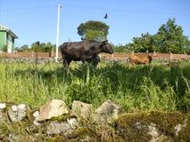 美好的乡下风景在有母牛的春天 免版税库存图片