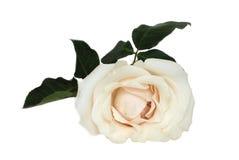 美好的乳脂状的玫瑰白色 库存照片