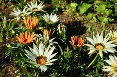 美好的五颜六色的大雏菊背景 库存图片