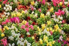 美好的五颜六色的snapdragon在庭院里开花金鱼草属 库存图片