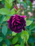 美好的伯根地紫色在庭院里上升了 免版税库存图片