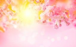 美好的佐仓桃红色花樱花和太阳背景 8个看板卡eps文件招呼的包括的模板 浅深度 被定调子的软性 分行明亮的开花的绿色本质春天结构树 免版税库存图片