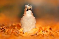 美好的光在有鸟的森林里 鸟欧亚混血人杰伊, Garrulus glandarius画象,与橙色跌倒叶子和早晨 免版税库存照片