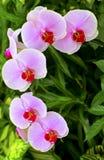 美好的兰花粉红色 免版税图库摄影