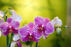 美好的兰花紫色 库存图片