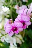 美好的兰花紫色 库存照片