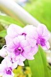 美好的兰花紫色 免版税图库摄影