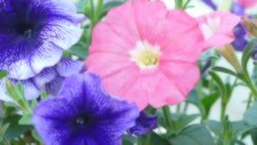 美好的关闭一朵桃红色和紫罗兰色蝴蝶花 免版税库存照片