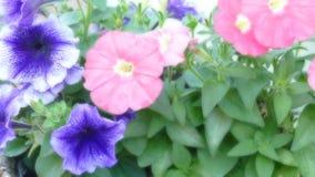 美好的关闭一朵桃红色和紫罗兰色蝴蝶花 库存照片