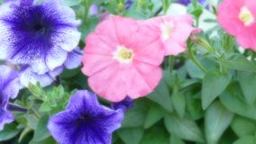 美好的关闭一朵桃红色和紫罗兰色蝴蝶花 免版税图库摄影