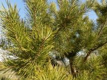美好的冬天森林背景 森林横向杉木 大美丽的绿色杉木 免版税库存照片
