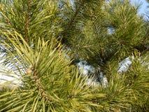 美好的冬天森林背景 森林横向杉木 大美丽的绿色杉木 免版税图库摄影