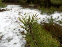 美好的冬天森林背景 森林横向杉木 大美好的杉木分支 图库摄影