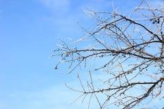美好的冬天的天空 斯诺伊和冷淡 在冰的分支在天空蔚蓝背景 免版税图库摄影