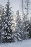 美好的冬天风景在森林里 免版税库存照片