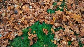美好的叶子背景在秋天,在树绿草下落的棕色叶子,在11月城市在公园 免版税库存图片