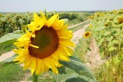 美好的向日葵领域在夏天-储蓄图象 库存照片