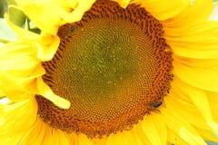 美好的向日葵领域在夏天-储蓄图象 免版税图库摄影