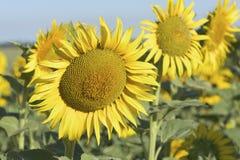 美好的向日葵领域在夏天 库存图片