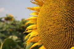 美好的向日葵领域在夏天 图库摄影