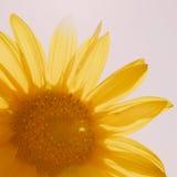 美好的向日葵黄色 库存照片
