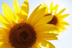 美好的向日葵黄色 免版税库存图片